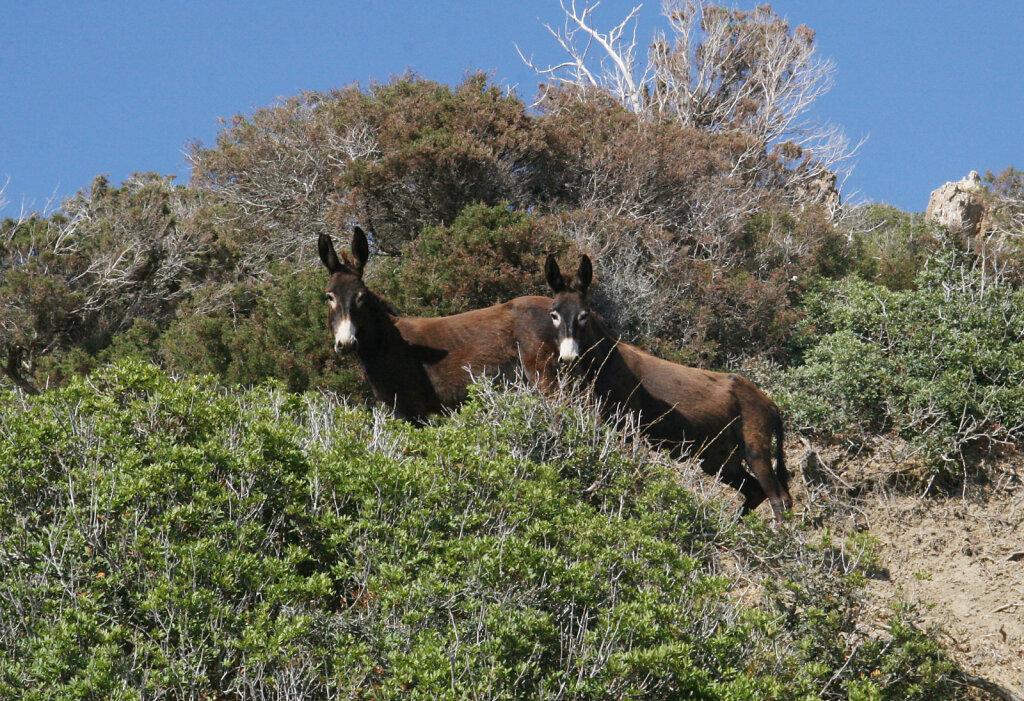 Wildesel / Wild Donkey